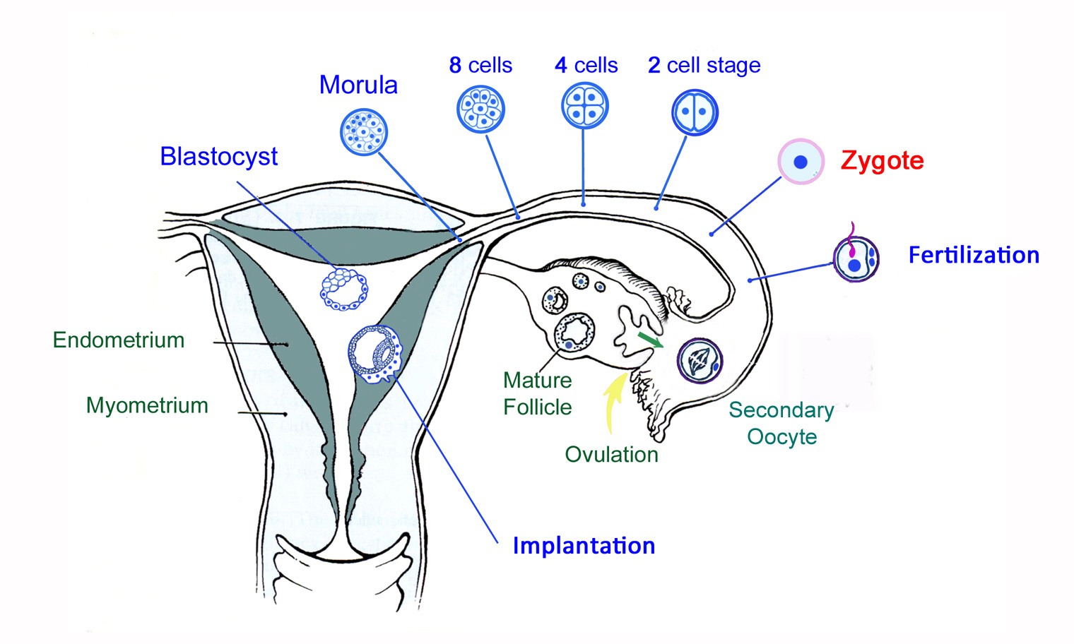 The Germinal Phase of the Embryo, from Fertilization to Implantation.
